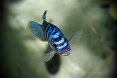 蓝色鱼 免版税库存照片