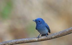 蓝色鸟告诉了Black naped国君坐栖息处 免版税库存图片