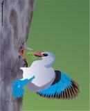 蓝色鸟哺养的年轻人一 免版税库存照片
