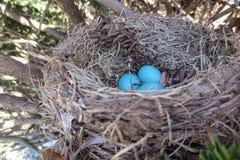 蓝色鸟筑巢 库存照片