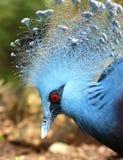 蓝色鸟长的羽毛和红色眼睛 免版税库存照片