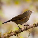 蓝色鸟,女性喜马拉雅Bluetail (Tarsiger rufila特写镜头  免版税库存照片
