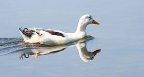 蓝色鸭子湖 库存照片