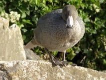 蓝色鸭子,地方性对新西兰 免版税库存图片