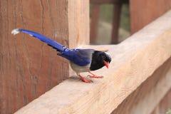 蓝色鹊在amoy城市,瓷 免版税库存照片
