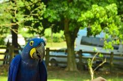 蓝色鹦鹉在潘塔纳尔湿地 库存图片