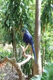 蓝色鹦鹉,密林海岛,迈阿密,佛罗里达 免版税库存照片