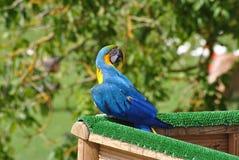 蓝色鹦鹉黄色 免版税图库摄影