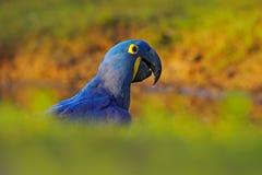 蓝色鹦鹉 画象大蓝色鹦鹉风信花金刚鹦鹉, Anodorhynchus hyacinthinus,与水滴在票据的,潘塔纳尔湿地,巴西 免版税库存图片