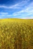 蓝色麦地天空夏天 免版税库存照片