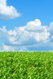蓝色麦地绿色天空 库存图片