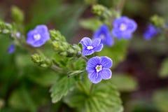 蓝色黑暗的紫罗兰 库存照片
