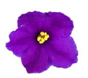 蓝色黑暗紫罗兰色五个的瓣 免版税库存照片