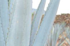 蓝色龙舌兰叶子 免版税图库摄影