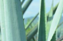 蓝色龙舌兰叶子 免版税库存图片