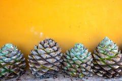 蓝色龙舌兰和黄色墙壁 库存照片