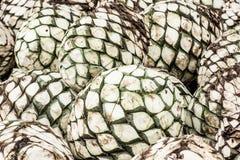 蓝色龙舌兰头  tequi的生产的植物 库存图片