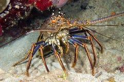蓝色龙虾 库存图片