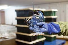 蓝色龙虾 图库摄影