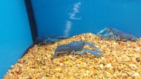 蓝色龙虾 库存照片