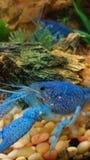 蓝色龙虾 免版税库存图片