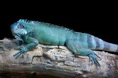 蓝色龙-在黑色的绿色鬣鳞蜥 免版税图库摄影