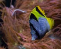 蓝色,黑和黄色热带鱼 库存图片
