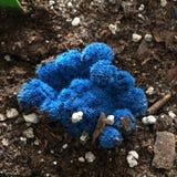 蓝色仙人掌 库存图片