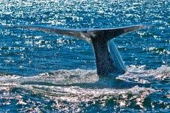 蓝色破坏的鲸鱼 免版税库存图片