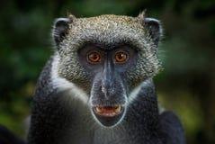 蓝色猴子-长尾猴属mitis,肯尼亚,非洲 免版税图库摄影