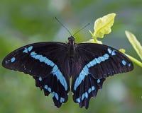 蓝色绿松石和黑蝴蝶 库存图片