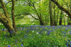 蓝色&白色森林花 库存图片