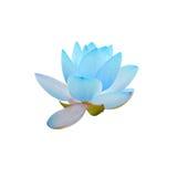 蓝色黄睡莲花,在湖,水百合,池塘百合,睡莲,莲属nucifera,亦称印地安莲花的绿色领域 免版税库存图片