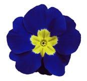 蓝色紫罗兰开花白色与裁减路线的被隔绝的背景 特写镜头 没有影子 对设计 免版税库存图片