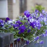 蓝色紫罗兰装饰篱芭的一个房子 免版税库存图片