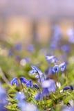 蓝色紫色春天底层视图开花与选择聚焦 免版税库存图片