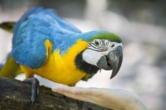 蓝色黄色金刚鹦鹉 免版税库存图片