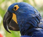 蓝色&黄色金刚鹦鹉 图库摄影
