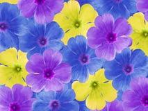 蓝色紫色黄色紫罗兰花 背景美丽的刀片花园 特写镜头 对于设计师,背景的 图库摄影