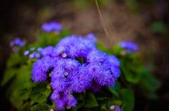 蓝色绣花丝绒花或Bluemink,蓝蓟,猫脚,墨西哥油漆刷在因斯布鲁克 库存图片