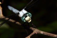 蓝色蜻蜓关闭 免版税库存图片