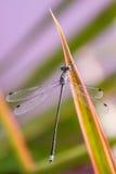 蓝色蜻蜓出去它的眼睛 免版税库存照片