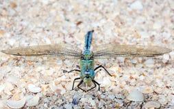 蓝色蜻蜓坐海壳 库存图片