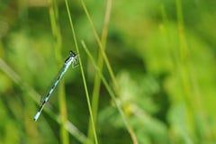 蓝色蜻蜓坐草茎 库存图片