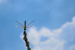 蓝色蜻蜓天空 免版税库存图片