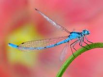 蓝色蜻蜓宏指令特写镜头   免版税库存照片