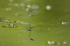 蓝色蜻蜓联接 图库摄影
