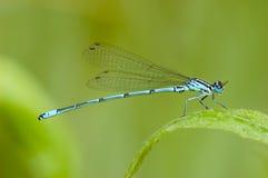 蓝色蜻蜓macrophotography  免版税库存照片