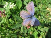 蓝色蝴蝶休息 免版税库存照片