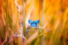 蓝色蝴蝶坐草甸在阳光下 库存照片